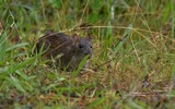 Rat surmulot - p314