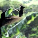 Le protecteur (avec un petit colibri huppé) - Photo : Yvon