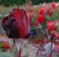 Idées pour massif de roses rouges/Ideas for red roses bed