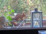 Eichhörnchen späht in die Küche