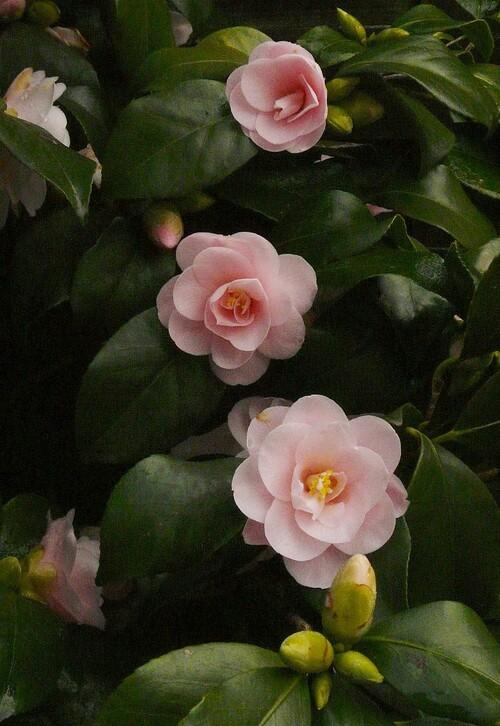 Camellia Fleur de Pecher