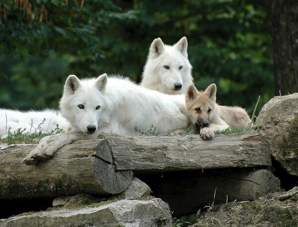 La loi des Loups