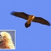Gypaète barbu (Gypaetus barbatus)