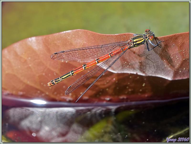Une demoiselle qui fait fantasmer : la Petite Nymphe au corps de feu (Pyrrhosoma nymphula) femelle - Lartigau - Milhas - 31