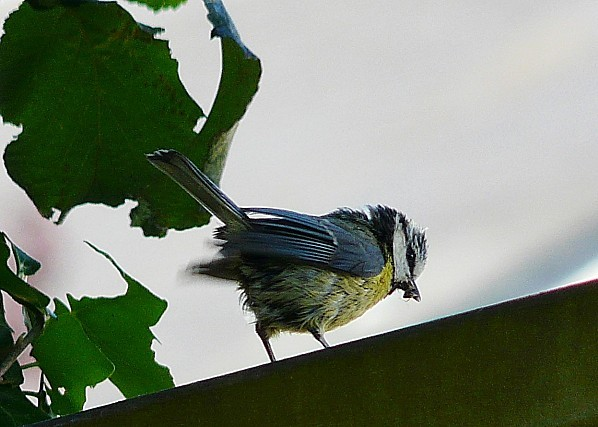 Mesange-bleue--depart-20-06-10-00820-06-012.jpg
