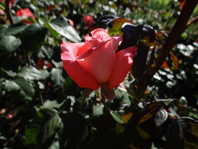 Butchart Gardens - Victoria - La roseraie