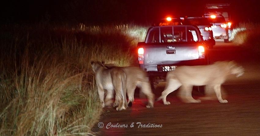 Lion, lionnes
