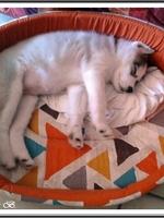 Okami (2 mois, chez son nouveau propriétaire)