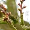 cerisiers28 mars.jpg