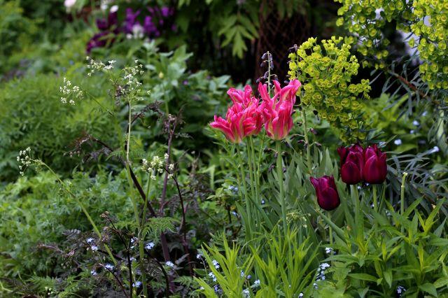 Tulipes 2018 : Viridiflora