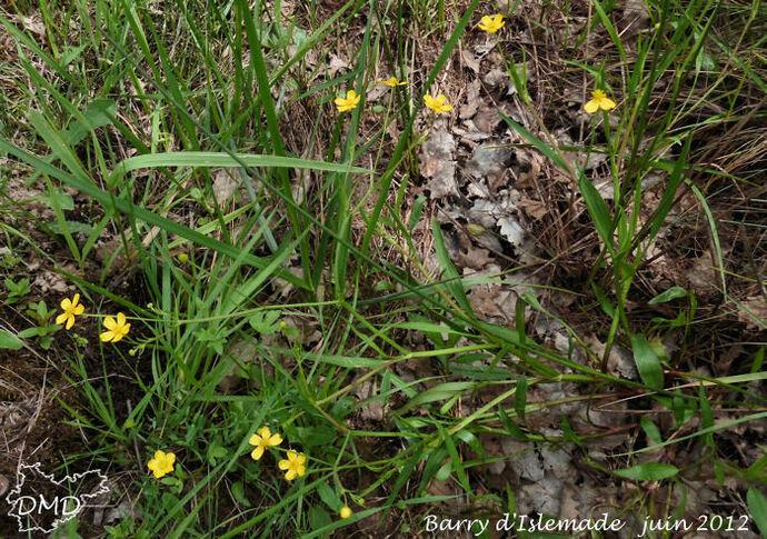 Ranunculus flammula  -  renoncule petite flamme