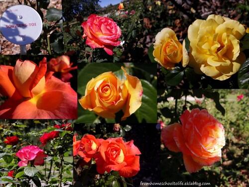 Multiples roses du parc floral de la Beaujoire