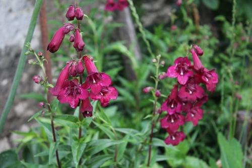 Penstemon red ruby