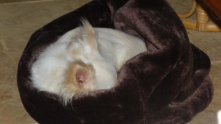 Un Chihuahua un Jour .. Un chihuahua Toujours