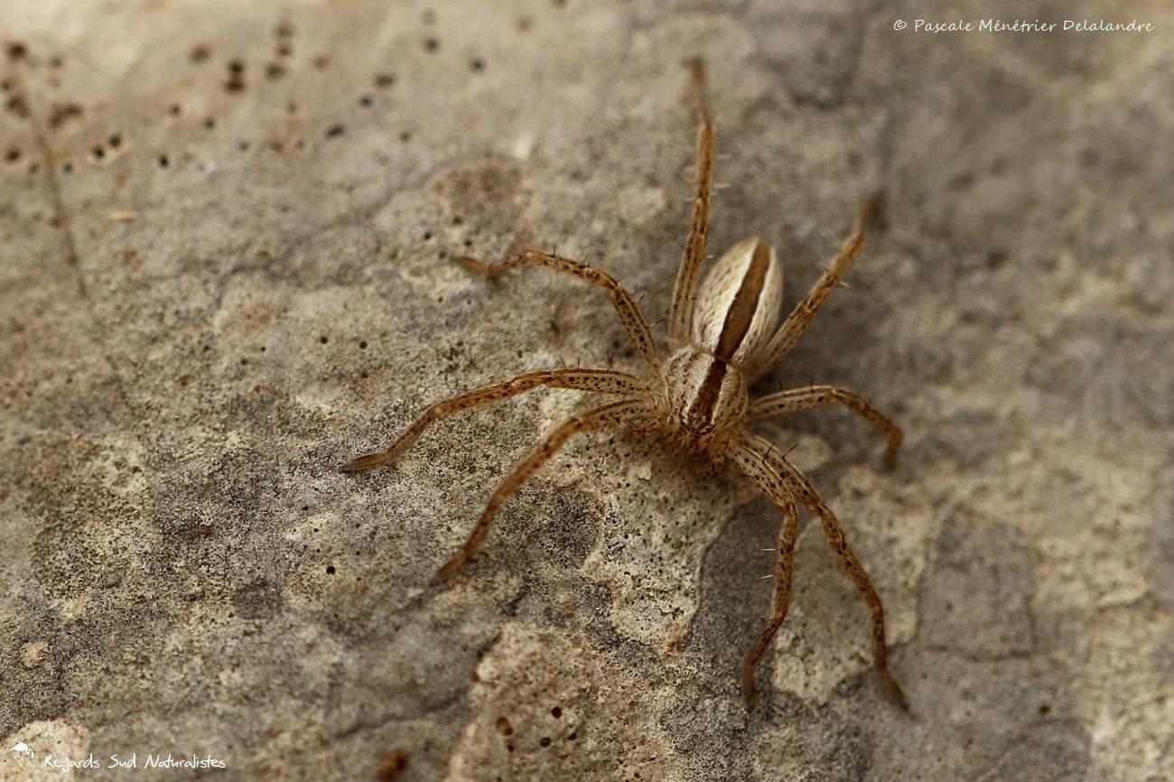 Tibellus oblongus - Thomisidae Philodrominae