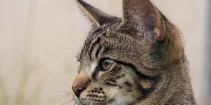 La péritonite chez les chats - Traitement