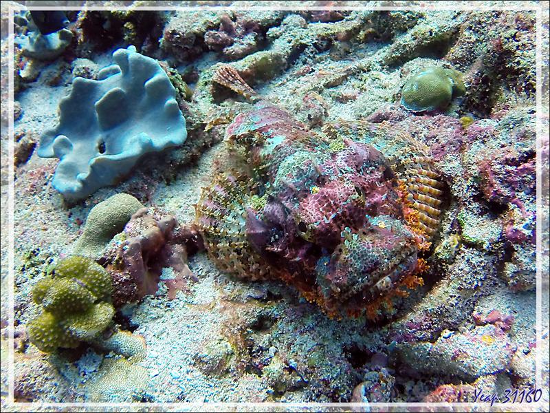 Rascasse tête plate, Poisson-scorpion à houppes, Tassled scorpionfish, Smallscale scorpionfish (Scorpaenopsis oxycephala) - Atoll d'Ari - Maldives