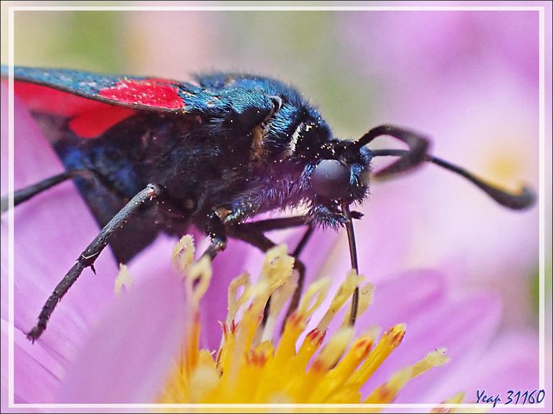 Papillon Zygène du trèfle ou des prés (Zygaena trifolii) - Lartigau - Milhas - 31