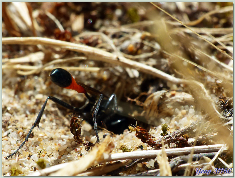 Guêpe des sables (Ammophila sabulosa) - La Couarde-sur-Mer - Île de Ré - 17