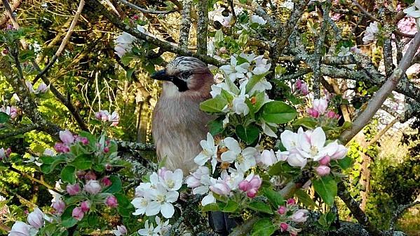 Noe_fleurs-de-pommier.jpg