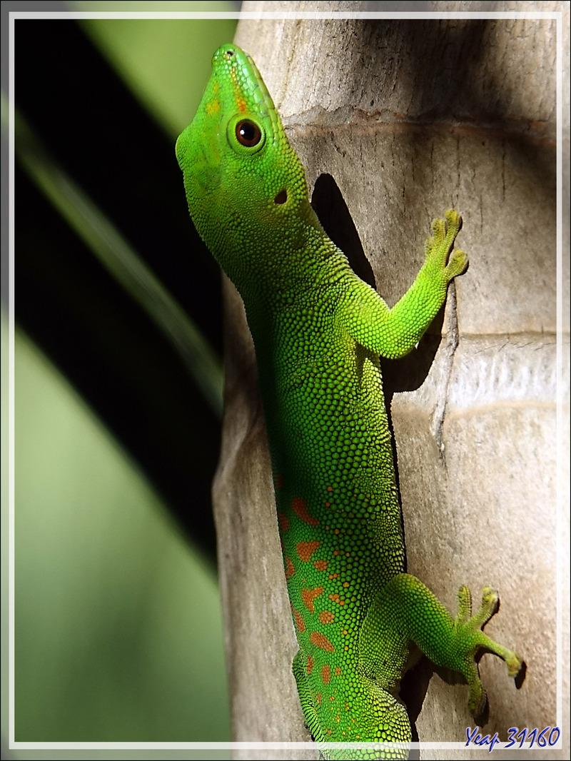 Promenade dans la forêt de Nosy Sakatia : Gecko géant de Madagascar (Phelsuma madagascariensis) - Madagascar