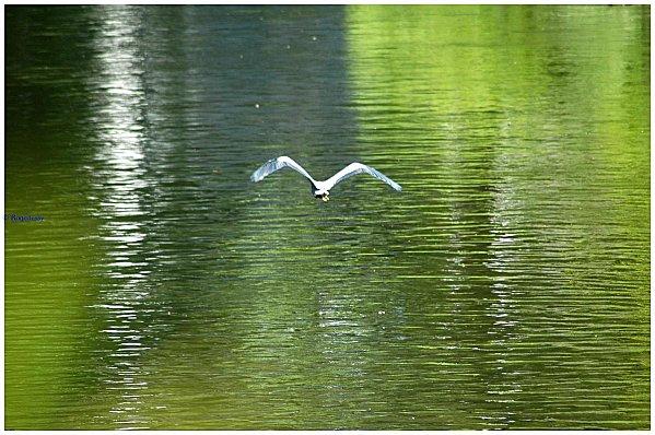 Herons-2011 0312