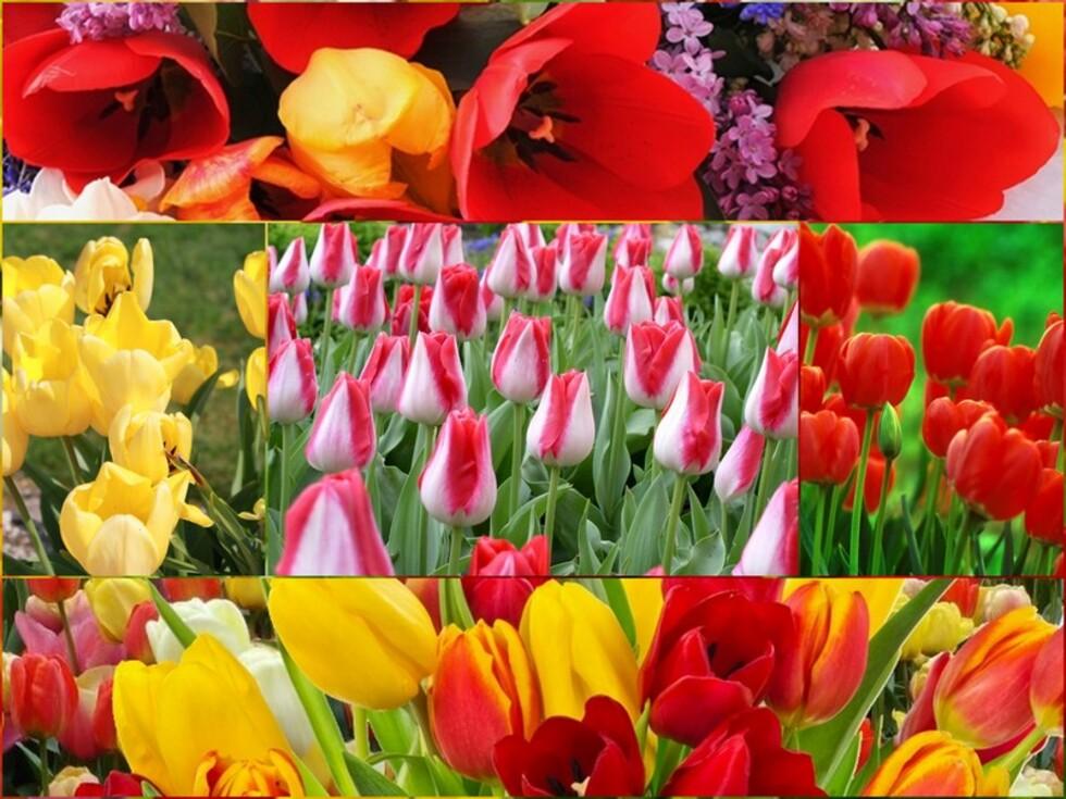 Mes fleurs préférées/la tulipe