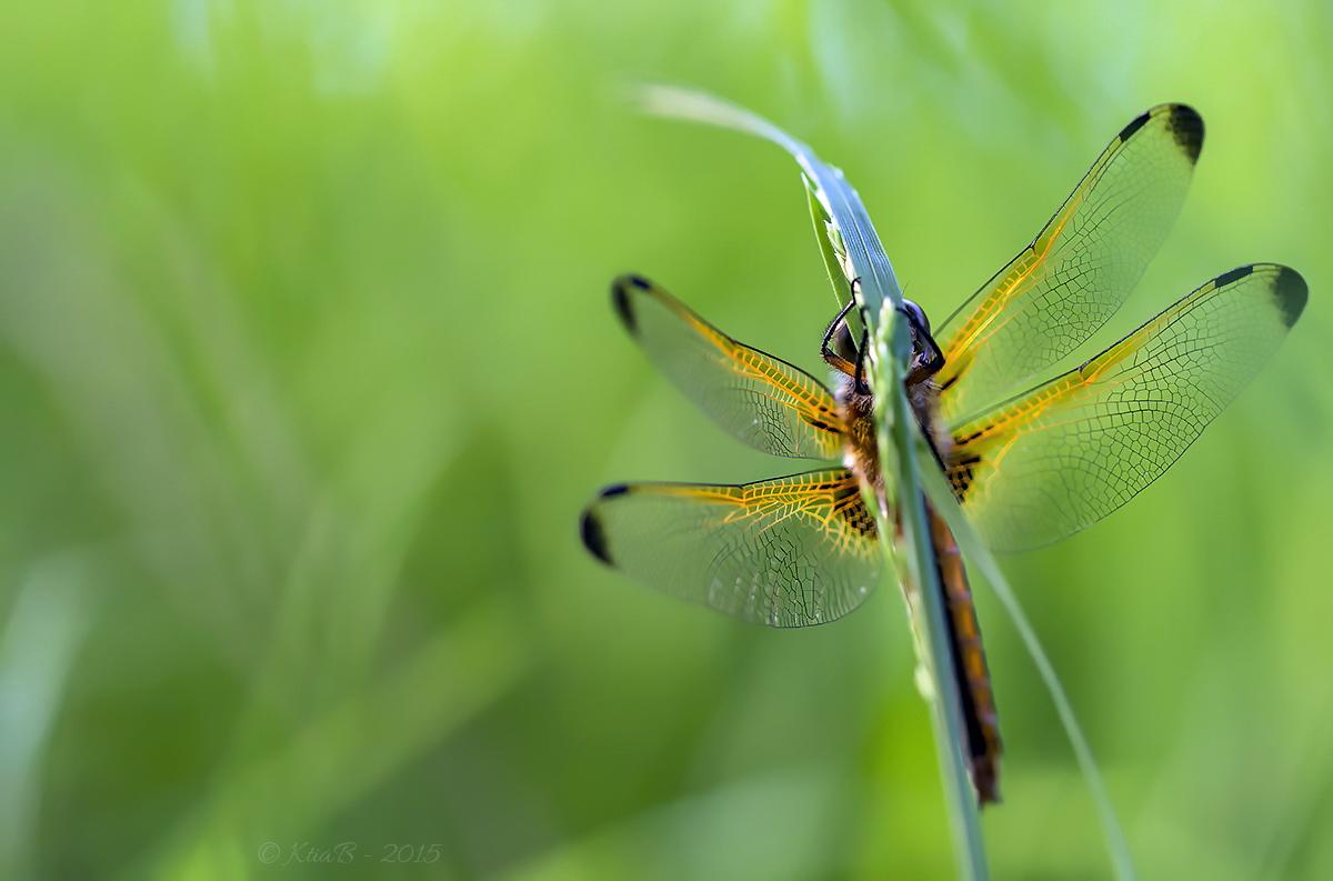 libellule fauve  ♀