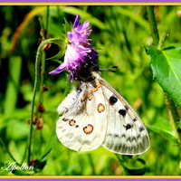 Apollon ou Parnassius Apollo