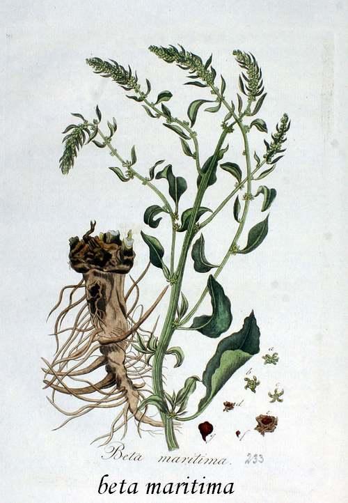 Vertu des Plantes Médicinales : BETTE
