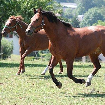 deux chevaux au galop.