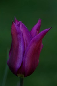 Tulipes Purple Dream2