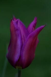 Tulipes Purple Dream2