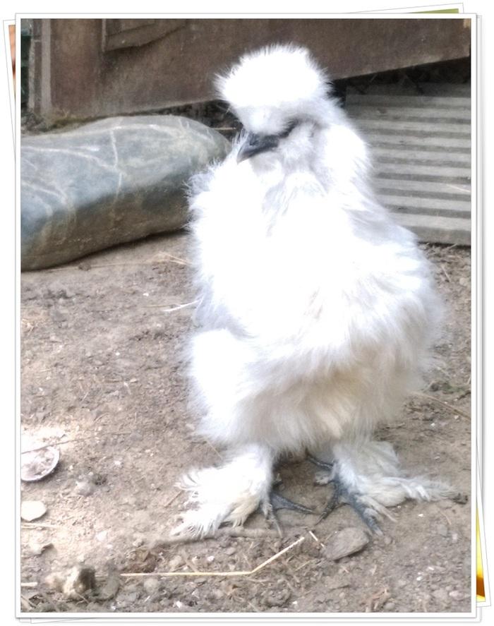 Mes poules et l ail !!!