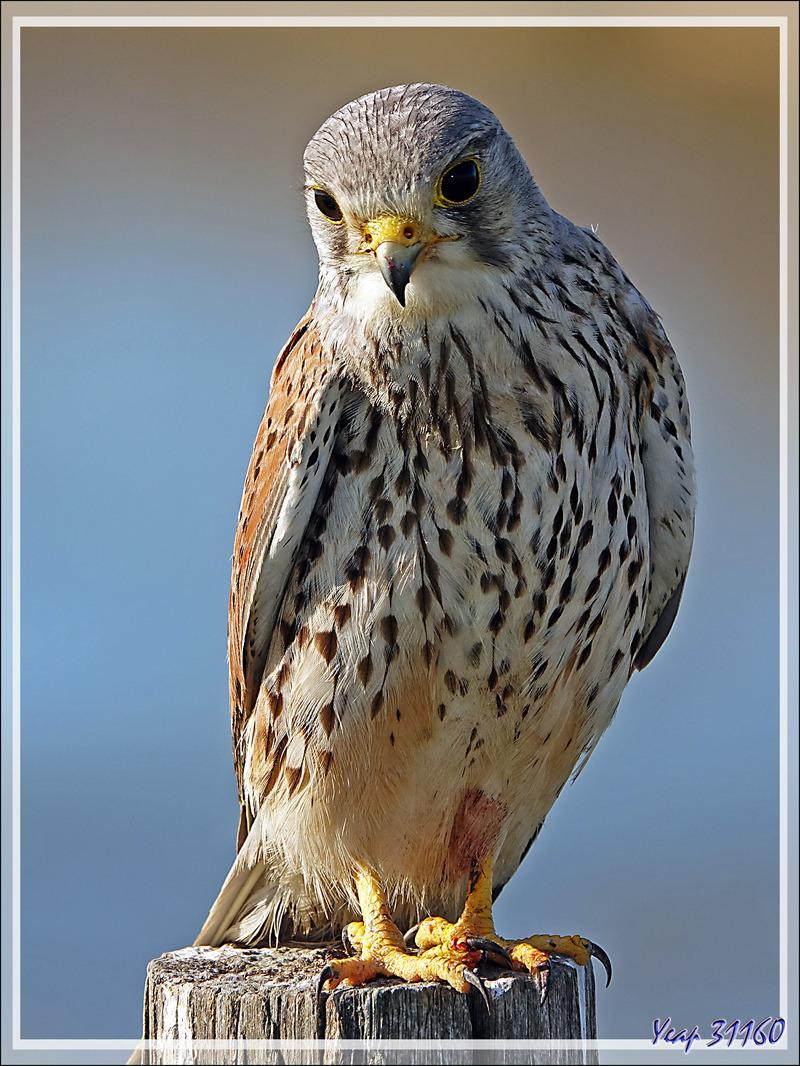 Faucon crécerelle, Common kestrel (Falco tinnunculus) - Les Portes-en-Ré - Île de Ré - 17