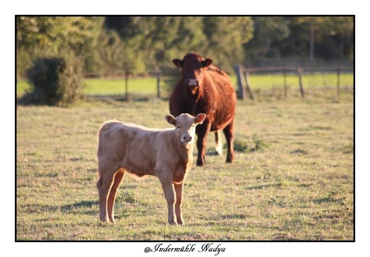 Les vaches dans leurs prés