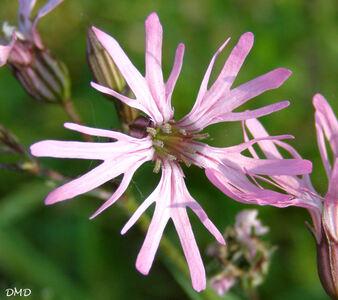 Lychnis flos-cuculi   -   Silene flos-cuculi - silène à fleur de coucou