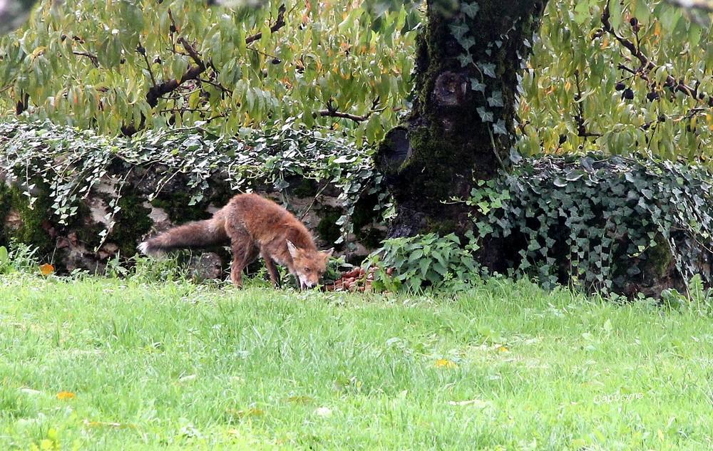 Rencontre avec un renard !