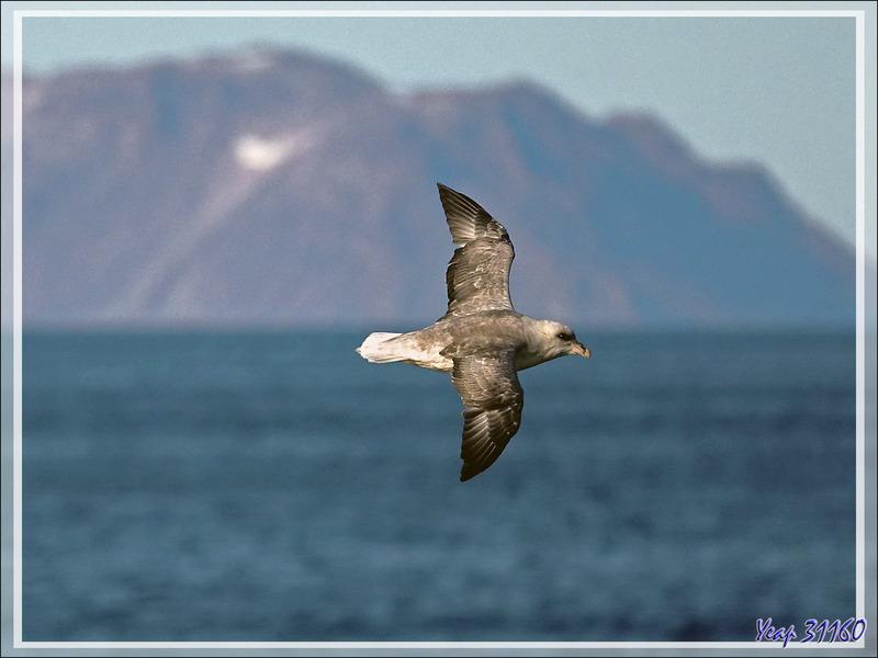 Fulmar boréal, Pétrel fulmar, Northern Fulmar (Fulmarus glacialis) - Mer de Baffin - Nunavut - Canada
