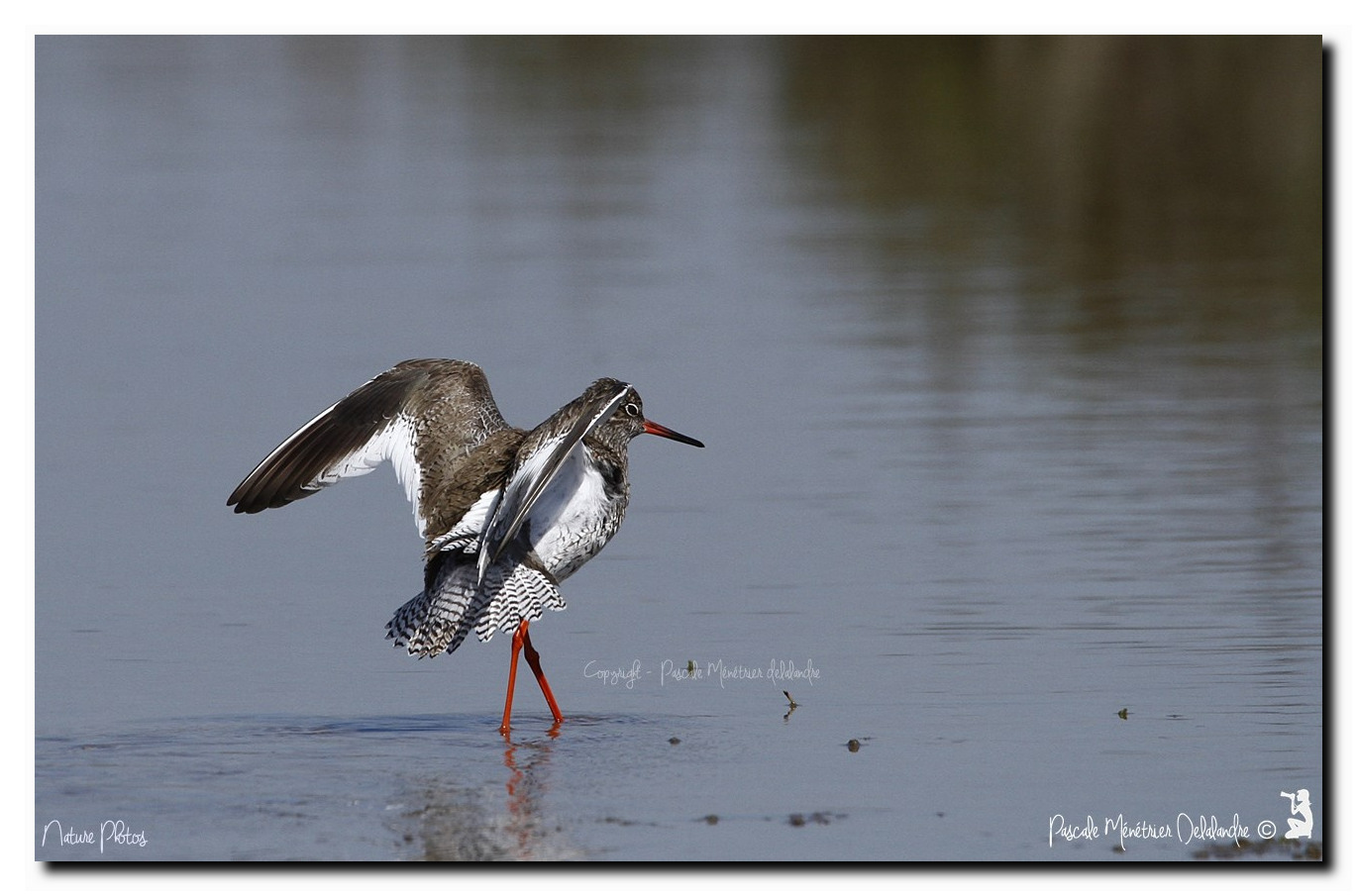Chevalier gambette - Tringa totanus - Common Redshank