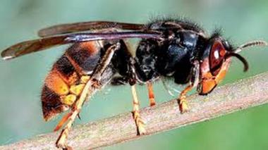 Il l'appelle «vespa velutina nigrithorax»  présent depuis quinze ans en France.
