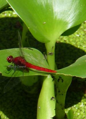 Erythrodiplax Castanea - Guyane