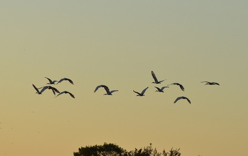 ... ibis royaux au petit matin...