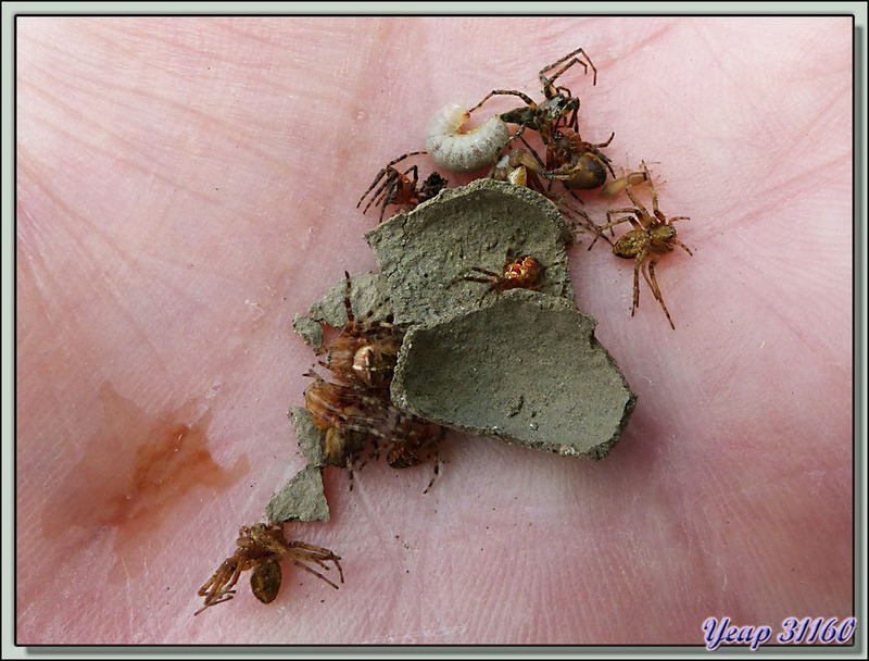 La saga de la Pélopée courbée (Sceliphron curvatum), guêpe chasseuse d'araignées - Verdun-sur-Ariège - 09