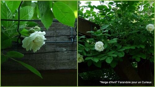 Début de floraison des rosiers