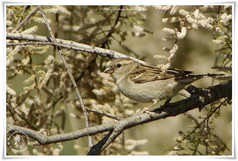 Moineau domestique femelle - Passer domesticus - House Sparrow
