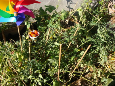 Blog de melimelodesptitsblanpain : Méli Mélo des p'tits Blanpain!, Les petites tomates cerises du jardin! ;o)