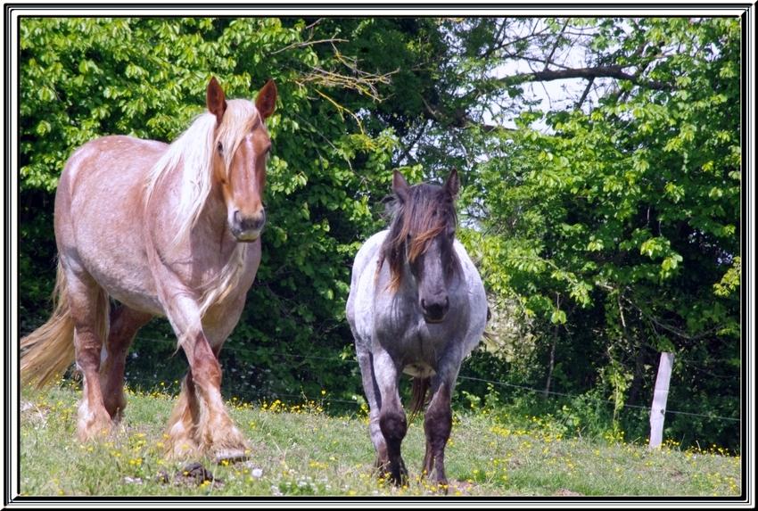 Après les vaches, maintenant les chevaux