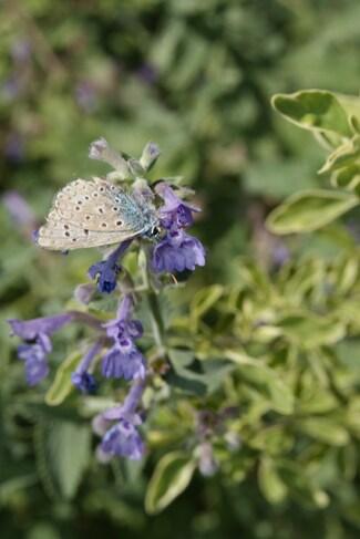 papillon l'argus bleu céleste, le bel argus, Lysandra bellargus