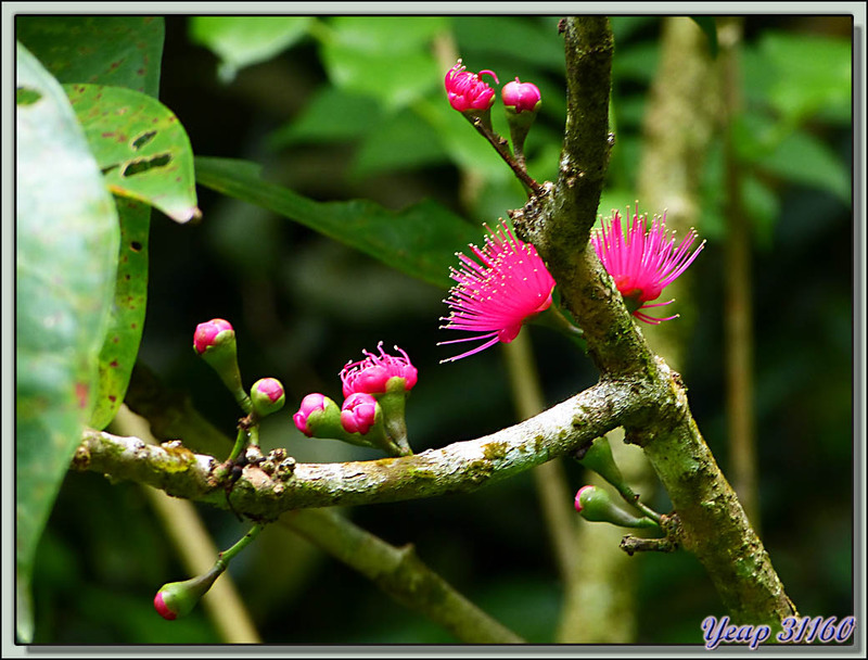 Fleurettes - Moorea - Polynesie française